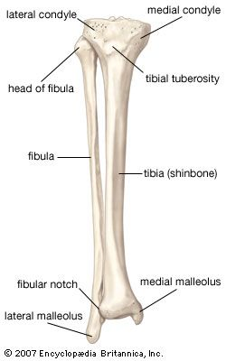 Anatomy & Physiology - Anterior view of the bones of the lower right leg, the fibula and the tibia (shinbone). Description from syndication.britannica.com. I searched for this on bing.com/images