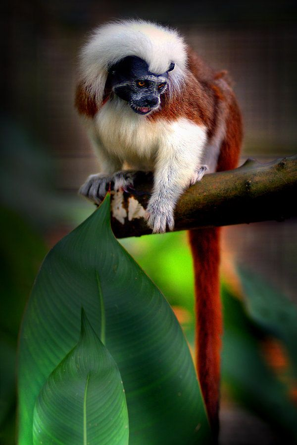 Tamarin, a rare monkey native to Brazil - By Sam Lim