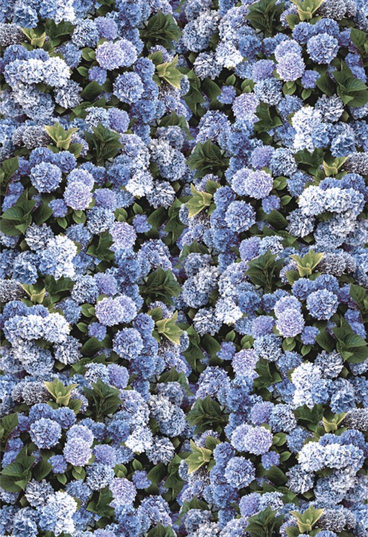 Image of Hydrangeas in blue sepia