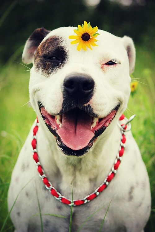 Adorable Pit Bull-- look at that smile!