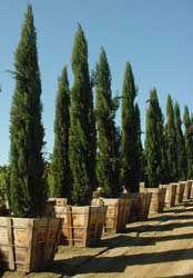 Ciprés común, Ciprés piramidal, Ciprés italiano, Ciprés de los cementerios.