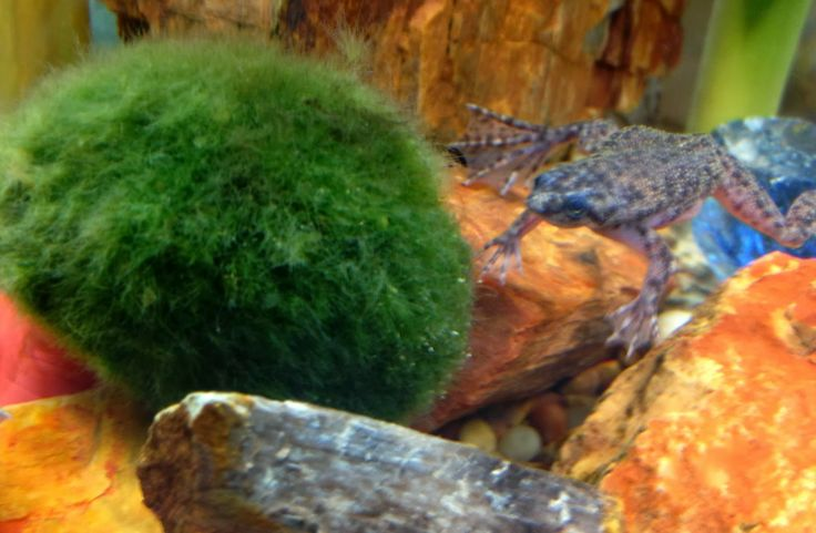 Marimo balls african dwarf frog fish tank pinterest for Fish tank frogs