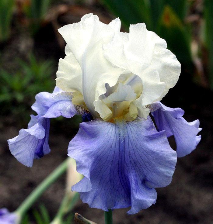 Pin By Mijika On Irises Iris Flowers Iris Garden Bearded Iris