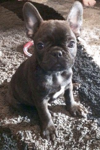 Blue French Bulldog Puppy ❤