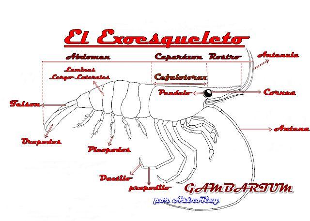 """""""Gambarium"""": Anatomía y Biología de las Gambas o Camarones de Acuarios"""