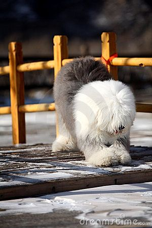English Old Sheepdog - Download From Over 24 Million High Quality Stock Photos, Images, Vectors. Sign up for FREE today. Image: 8451507