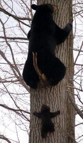 Anne ile yavru siyah ayı tırmanışta