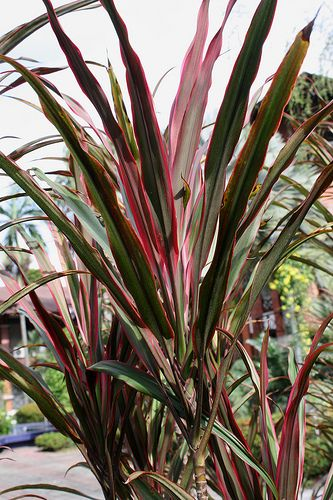 Red Edge Dracaena | Potted Plants | Pinterest