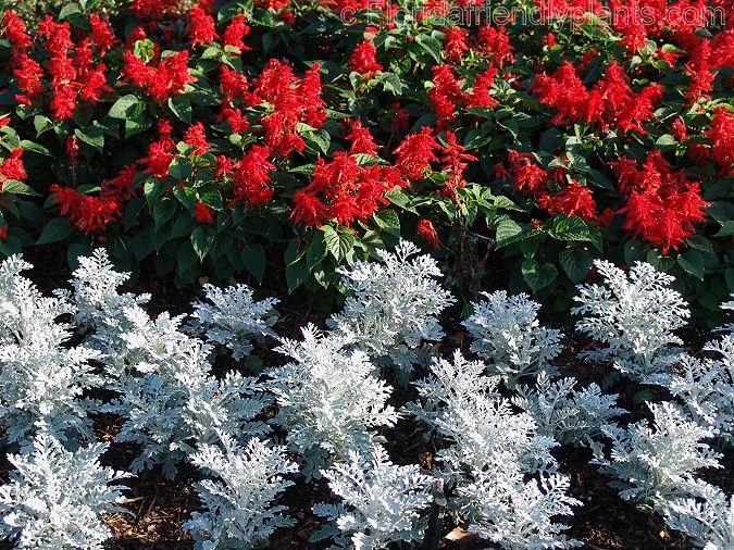 Dusty Miller And Red Salvia. Victorian GardensOutdoor PlantsDusty ...
