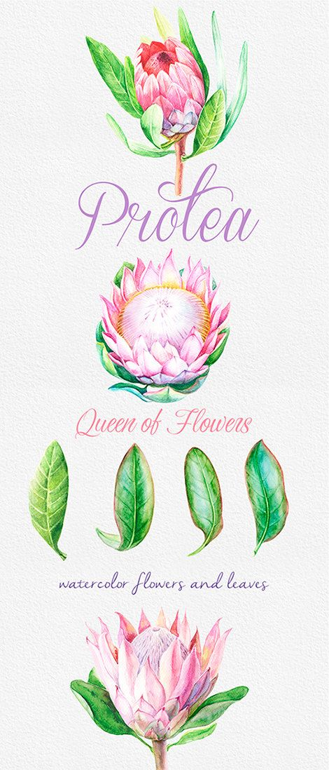 Protea Queen of Flowers Wedding Watercolor Flowers by ReachDreams