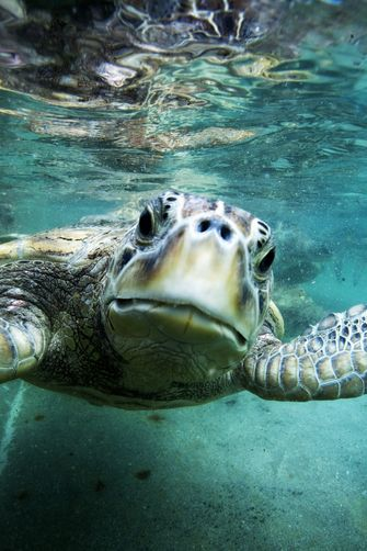 A curious sea turtle stares at the camera off Stingray City, Grand Cayman island. by Chris Bickford