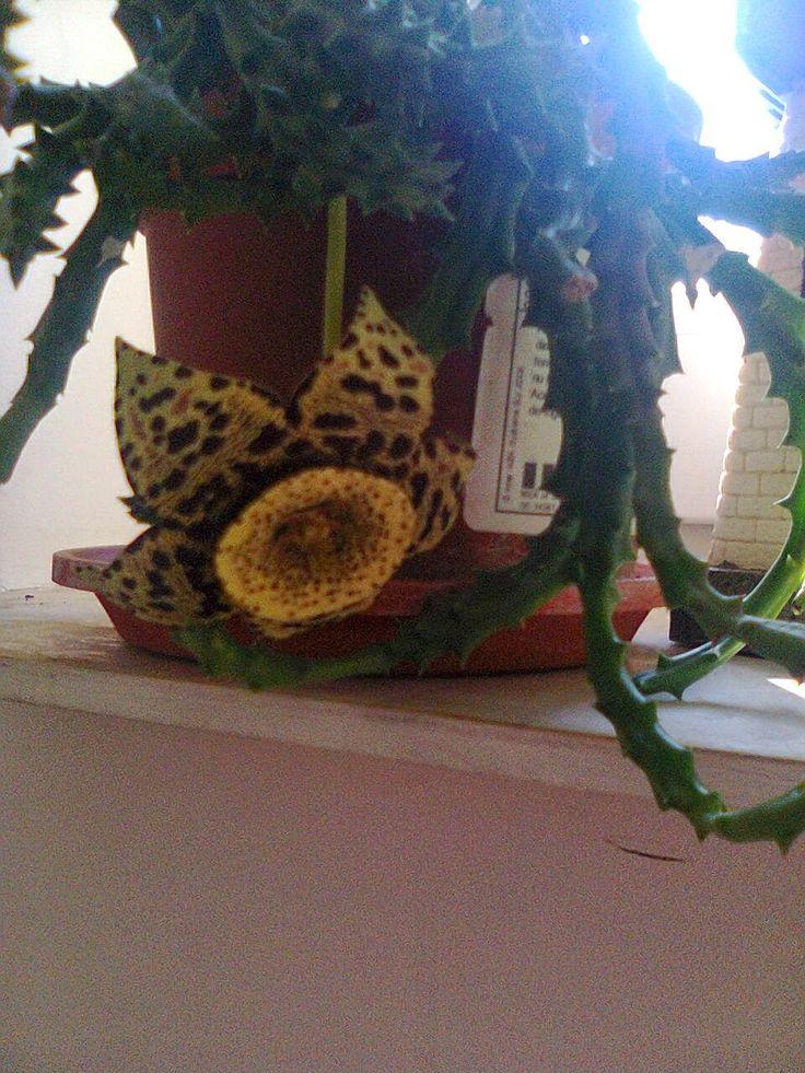 Adriana  Hobby: Flori de apartament  Floarea serifului - STAPELIA