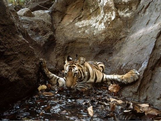Bathing Tigress, India