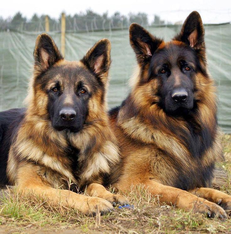 New breed American Alsatian descended from German Shepherds and Alaskan Malamutes.