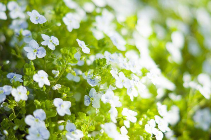 flower, белые цветы, фон