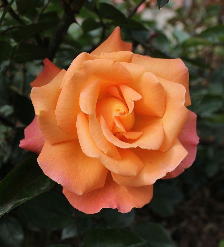 'Doris Tysterman' | Hybrid Tea Rose. Meilland 1975