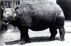 Javan rhinoceros. Confirmed EXTINCT in Oct. 2011 due to poaching and habitat loss. People fucking suck.
