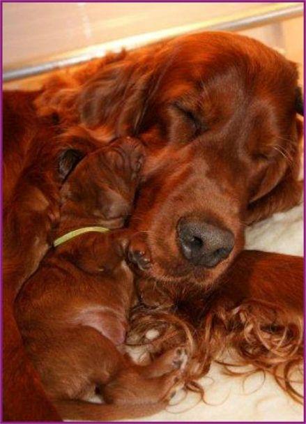 Mama-setter met pup