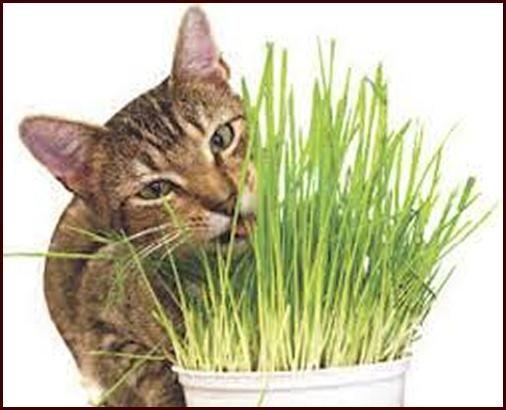 Seminare l'erba per gatti