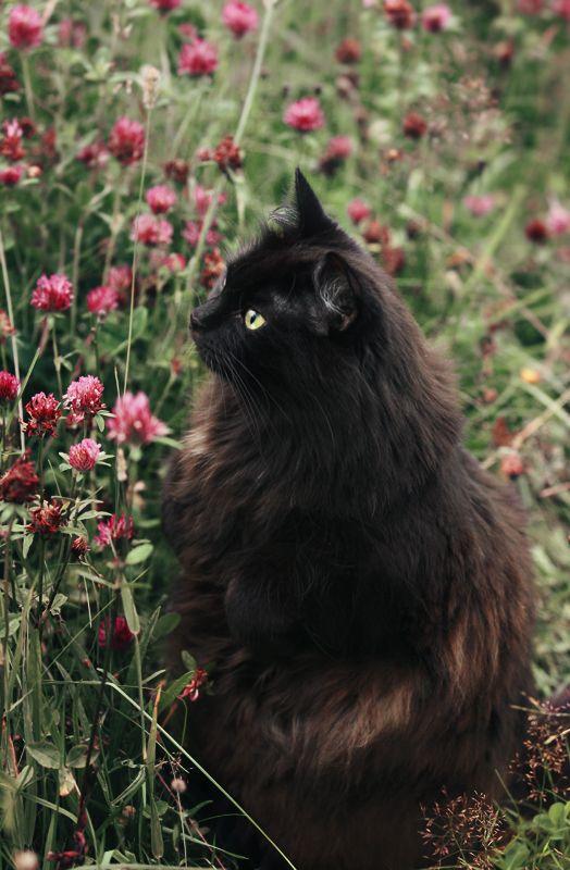 Best Fluffy Black Cat Ideas On Pinterest Black Kittens - 13 super fluffy cats melting glass