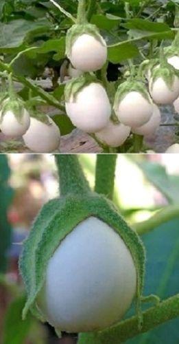 Eierbaum-Samen-schnellwuechsige-pflegeleichte-bluehende-Pflanzen-fuer-den-Balkon