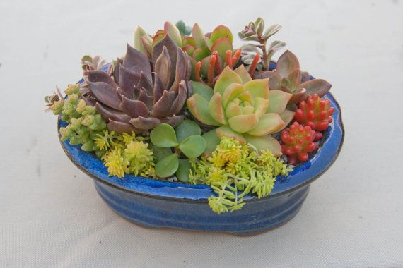 Succulent arrangement in blue oval bonsai container/bowl-Small on Etsy, $32.95