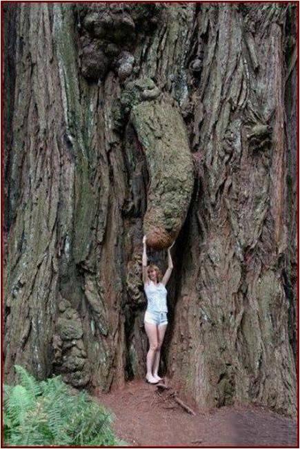 Árvore Macho