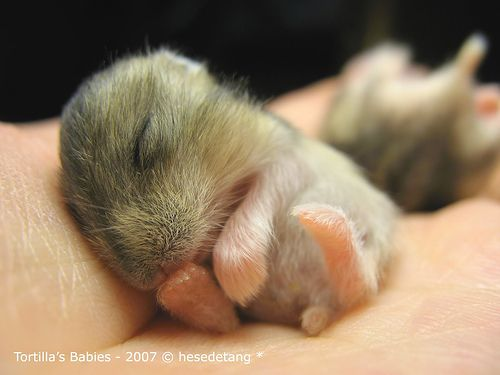 baby hamsters | Adorable Baby Hamsters (so Tiny & Fuzzy): A Tribute to My Hamsters