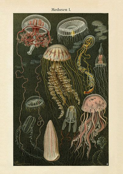 Gorgeous Jellyfish Art Print – Vintage Style-Style Wall Art – Museum Quality