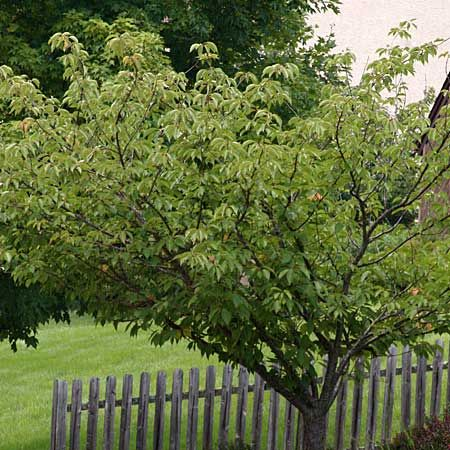 Trees for small yards japanese cherry tree cherry tree for Small japanese tree