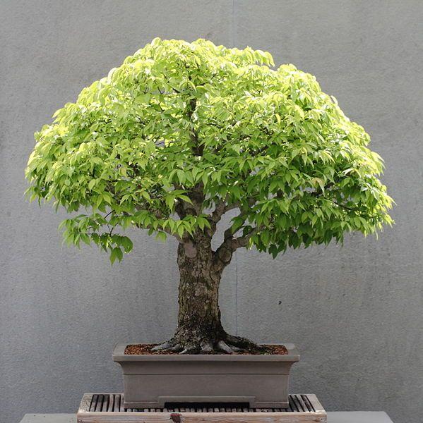 Zelvoka bonsai