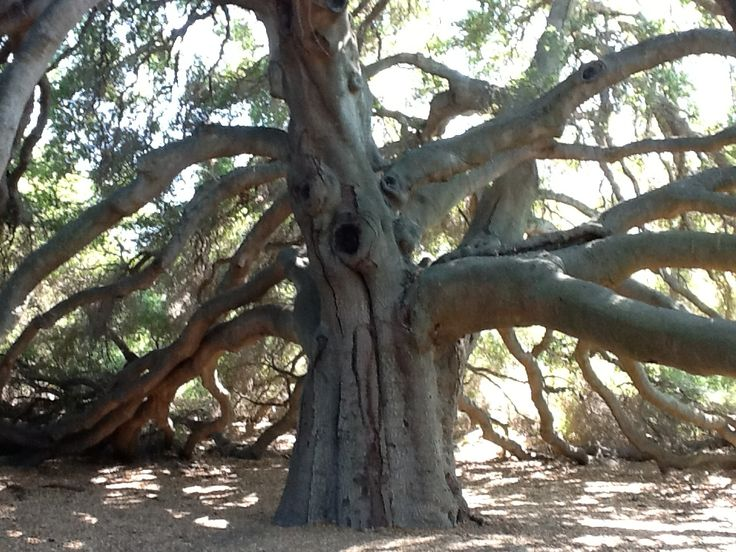 1000 year old Holy Tree (The Great Oak ) of the Pechanga Indian Tribe.