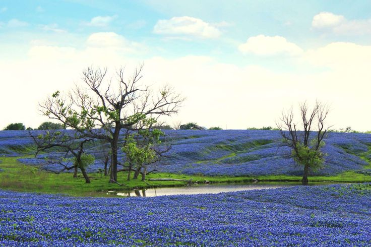 Walk the 40 miles of Ennis Bluebonnet Trails, 35 miles south of Dallas, to see swaths of Texas's bri... - Photo: Courtesy of Ennis Convention and Visitors Bureau