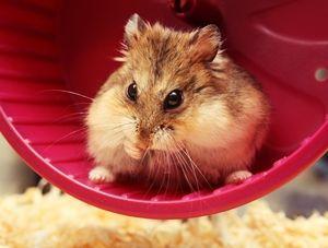 Cara Merawat Hamster Budidaya Hamster, Petani, Gambar