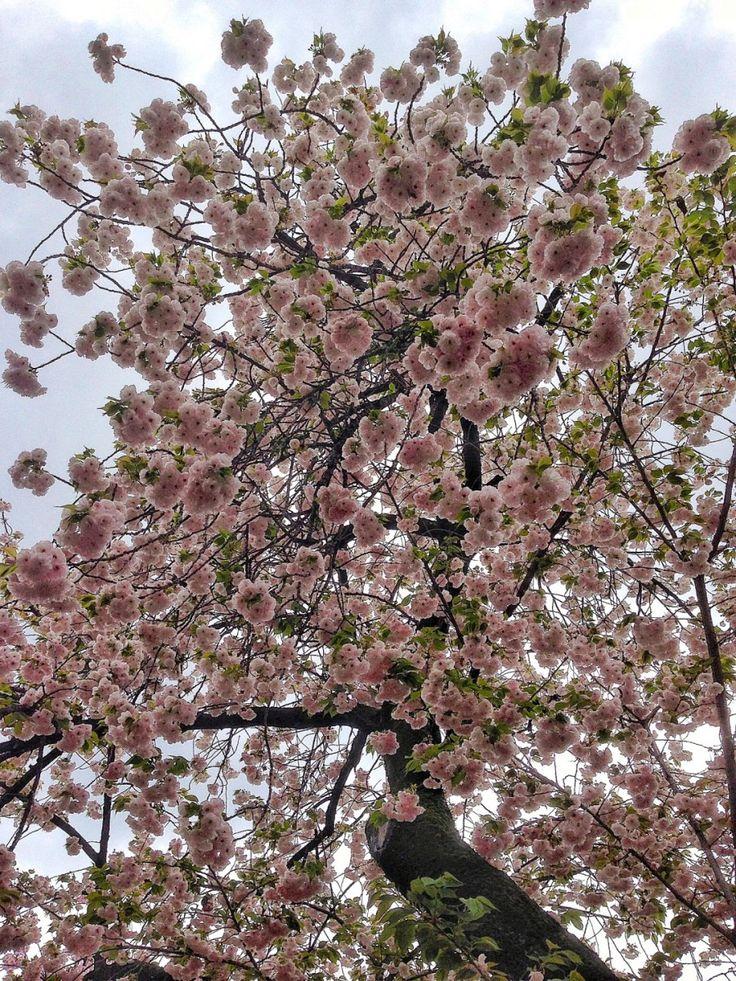 Guide to Japan's Cherry Blossom Season 2017