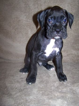 Boxer Breeders Kellys Boxers http://www.kellysboxers.com AKC Boxer Puppies For Sale, Boxer Breeder