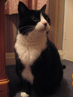 Tuxedo cats or black & white cats are very majestic cats. They are one of the most popular cats and one of the most beautiful. Picking a name...