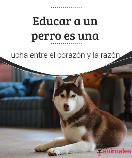 Educar a un perro es una lucha entre el corazón y la razón  Toda manada necesita un líder y si el perro no ve clara la figura de su líder, él mismo se autoproclamará como tal. No se lo permitas. #educar #mascota #adiestramiento #amor