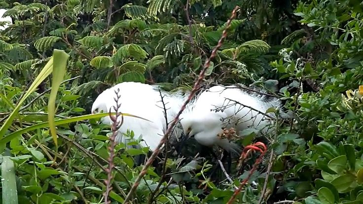 Snowy Egrets Nesting Behavior - Alcatraz Island, CA