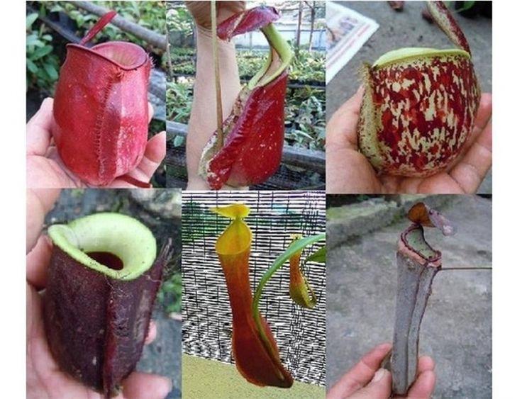 Семена, саженцы НЕПЕНТЕС MIX