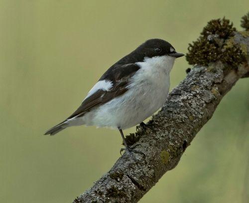 Vogel Des Monats Der Trauerschnapper Trauerschnapper Vogel Im Garten Tiere Und Vogel