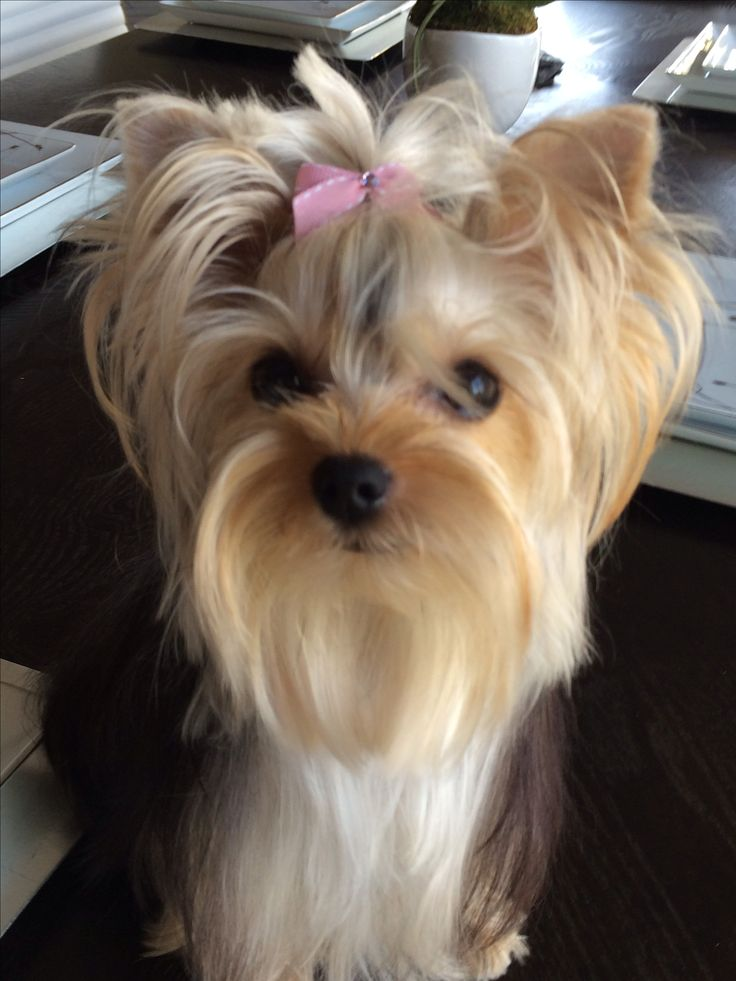 haircuts for teacup yorkies 11906 best images about beautiful yorkies on 3016