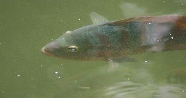 Diferencia entre las tilapias macho y hembra. La tilapia es un nombre común que se le da a más de 100 especies de peces de la familia de cíclidos tilapiine. Puede determinarse su sexo examinando el área de la papila y los órganos reproductivos en la parte inferior del pez.