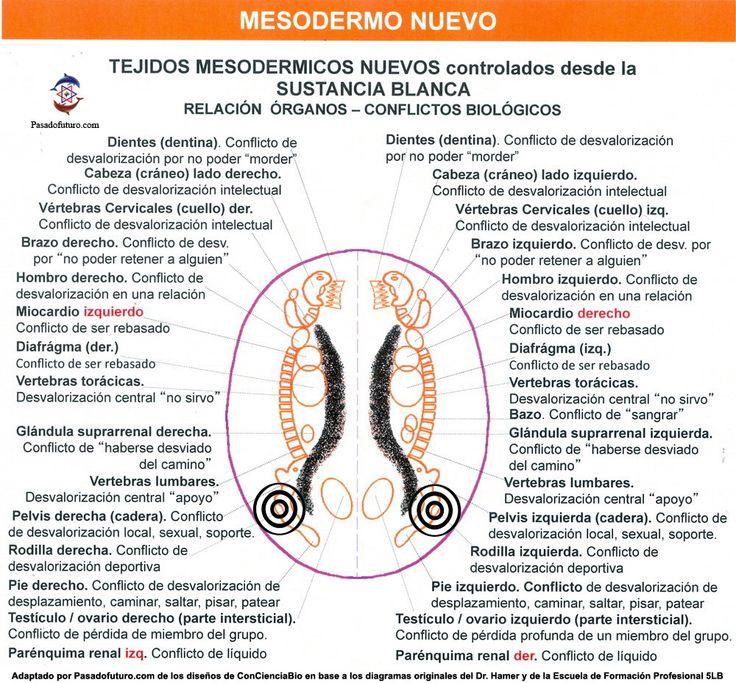 Constelacion Cerebral Mesodermo Nuevo Sustancia Blanca Nueva Medicina Germanica Hamer Leyes Biologicas
