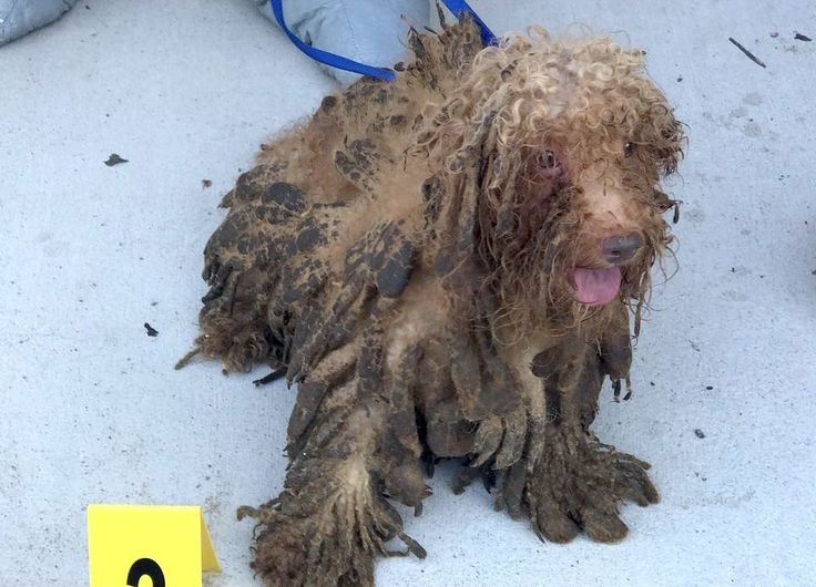 Dozens of poodles rescued from hoarding situation in West New York - https://petrescuereport.com/2017/dozens-poodles-rescued-hoarding-situation-west-new-york/ - https://www.sthuberts.org/blog/2017/7/6/25-poodles-rescued