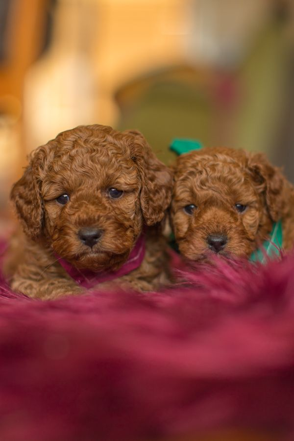 We Sometimes Have Rich Red Ruby Coloured Cavoodle And Groodle Puppies Available For Sale Our Poodle Stud Has A Deep Re Puppies Puppies For Sale Companion Dog