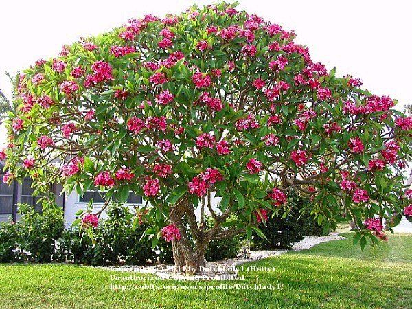 Tree+Growing+Zone+10A | is an outstanding fully grown - well over 20 years old - plumeria tree ...