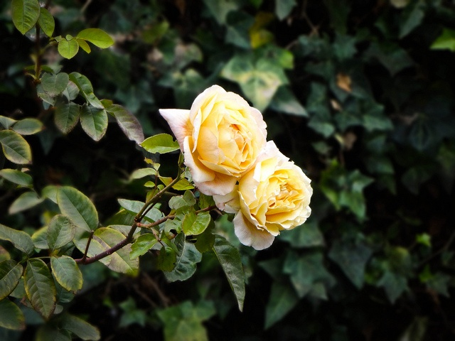 #roses #flowers #nature #natura #Chile #colors #yellow #green DSC02920 by FotografiArte :), via Flickr