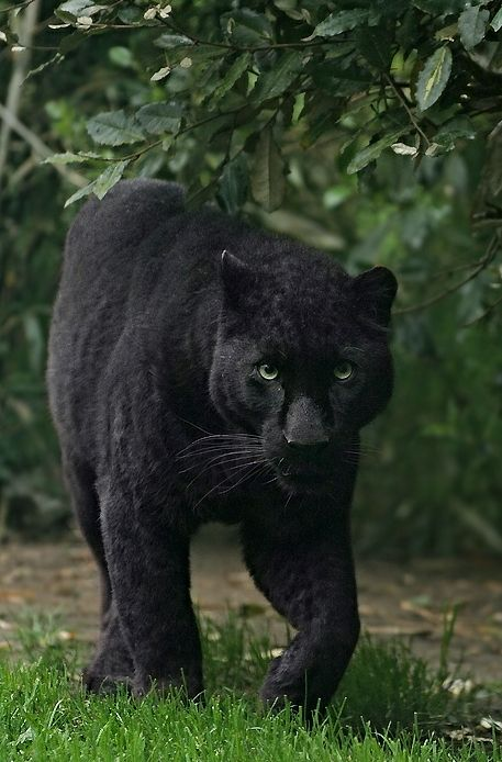 BEAUTIFUL BLACK PANTHER Photo: This Photo was uploaded by feetys ...