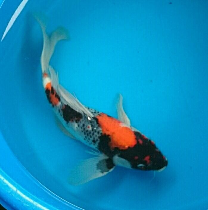 25 best ideas about showa koi on pinterest koi koi for Carpe koi rare